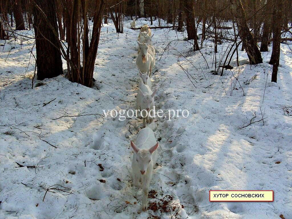 Прогулка коз зимой.