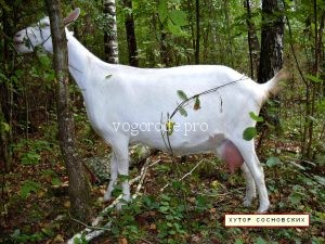 Как раздоить козу правильно?