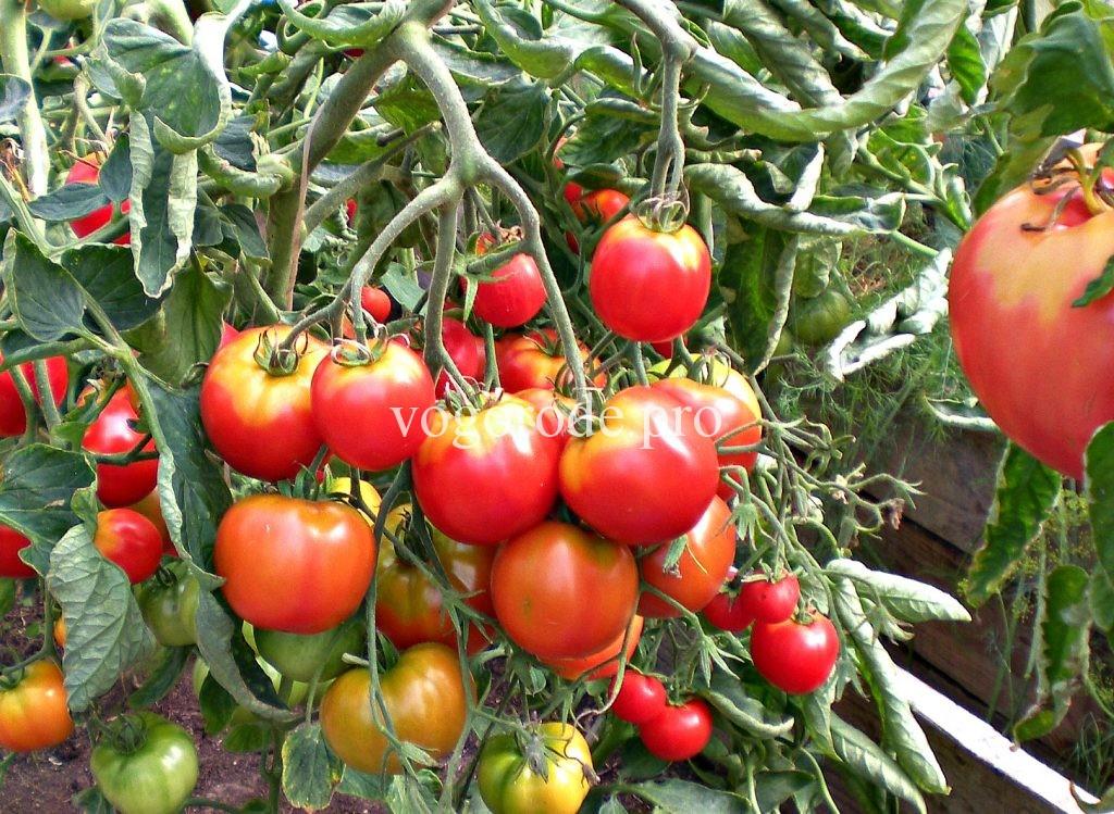 Советы кизимы по выращиванию томатов 622