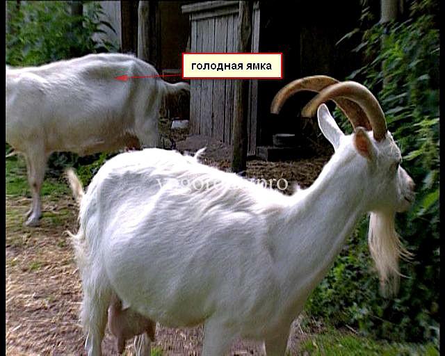 Тимпания рубца коз. У козы пропала жвачка - признак остановки рубца.