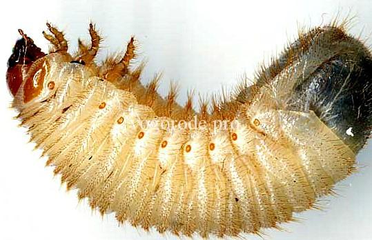 . Отличие личинок медведки от личинки майского жука и личинок бронзовки.