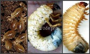 Отличие личинок медведки от личинки майского жука и личинок бронзовки.