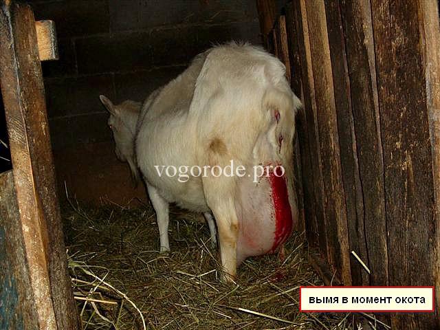 Как правильно запустить козу перед окотом?
