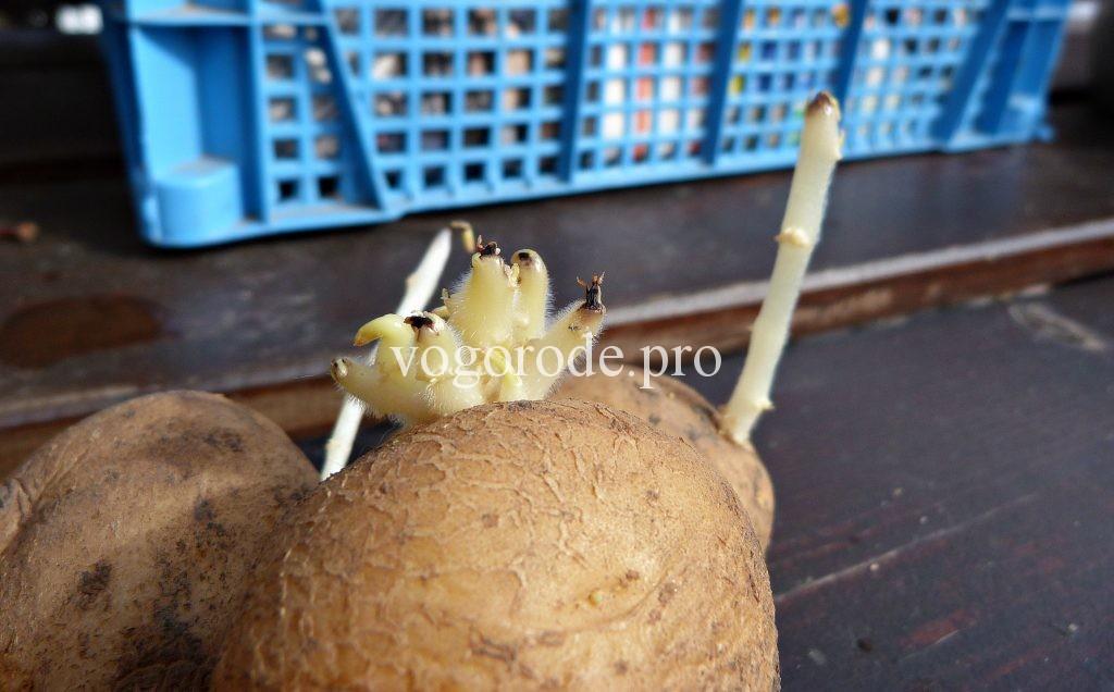 Чернеют кончики ростков у картофеля.