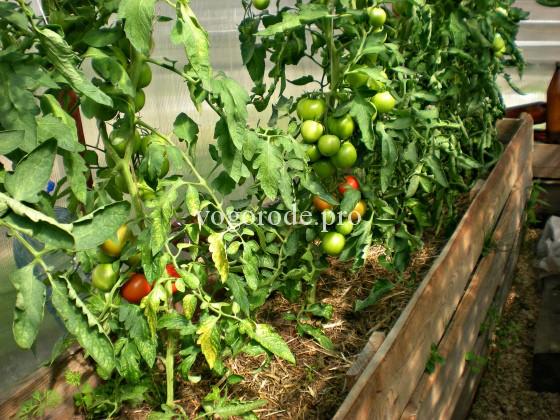 Выращивание ранних томатов в теплице Ленинградской области. Урожай в июне.
