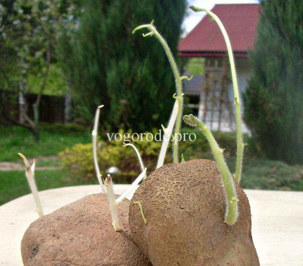 Как производить отбор картофеля на посадку?