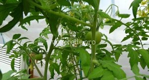 ранний урожай помидоров?