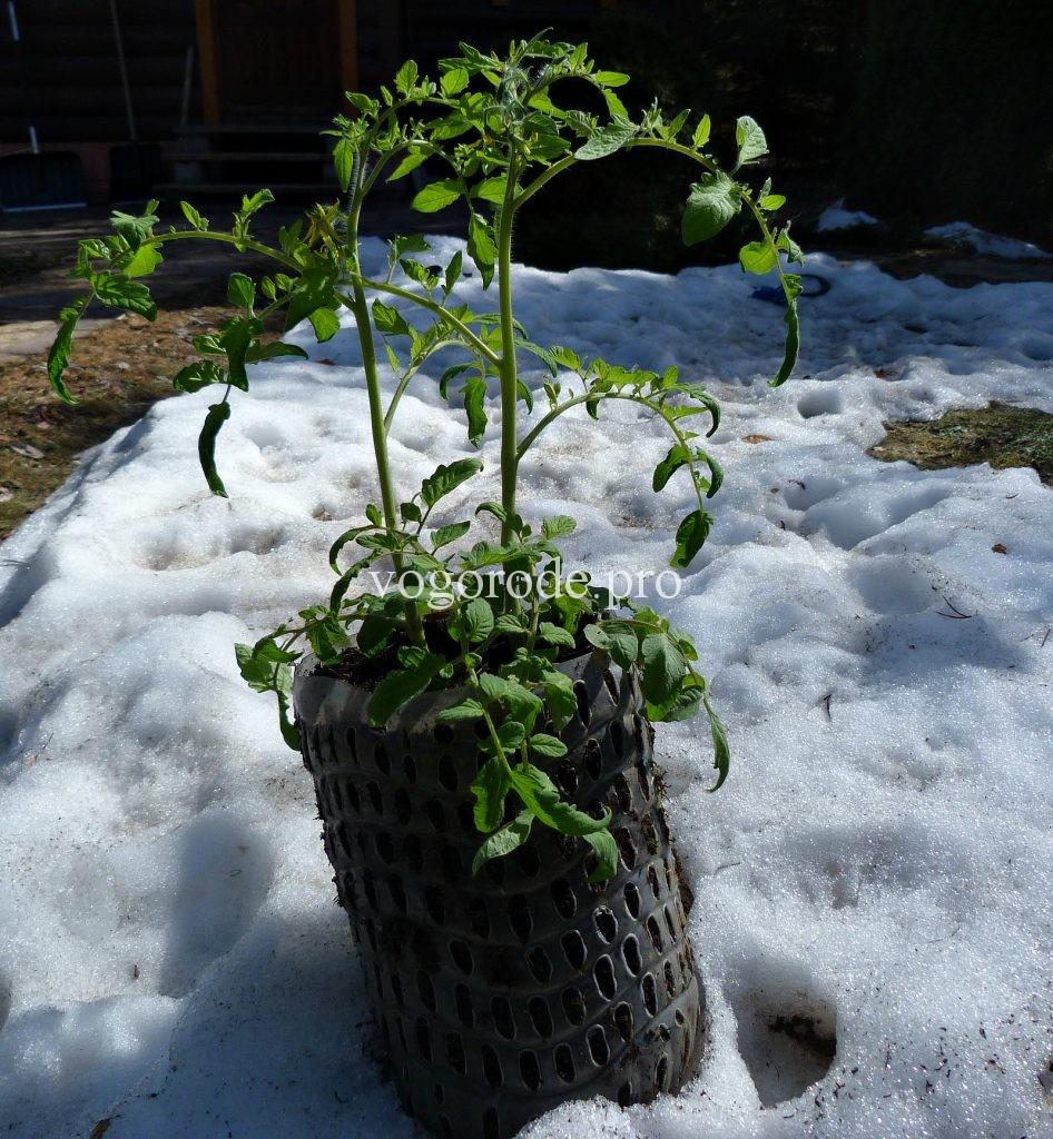 Как вырастить ранний урожай помидоров? Выращивание рассады