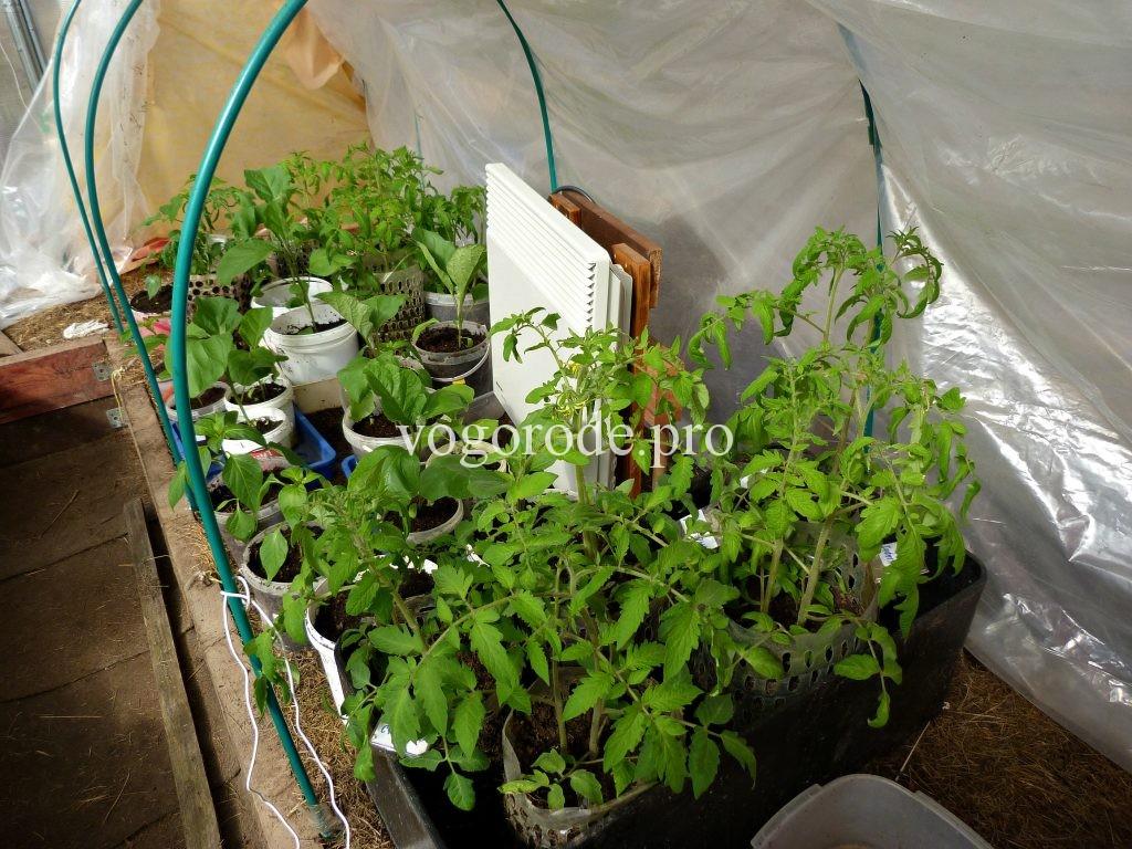 Выращивание ранних помидоров в Подмосковье.