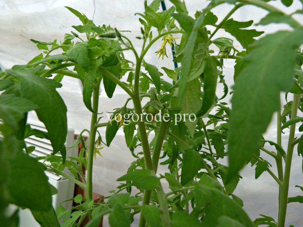 Лампы для выращивания рассады помидоров