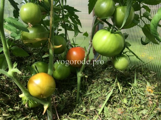 Как вырастить ранний урожай помидоров в Подмосковье?