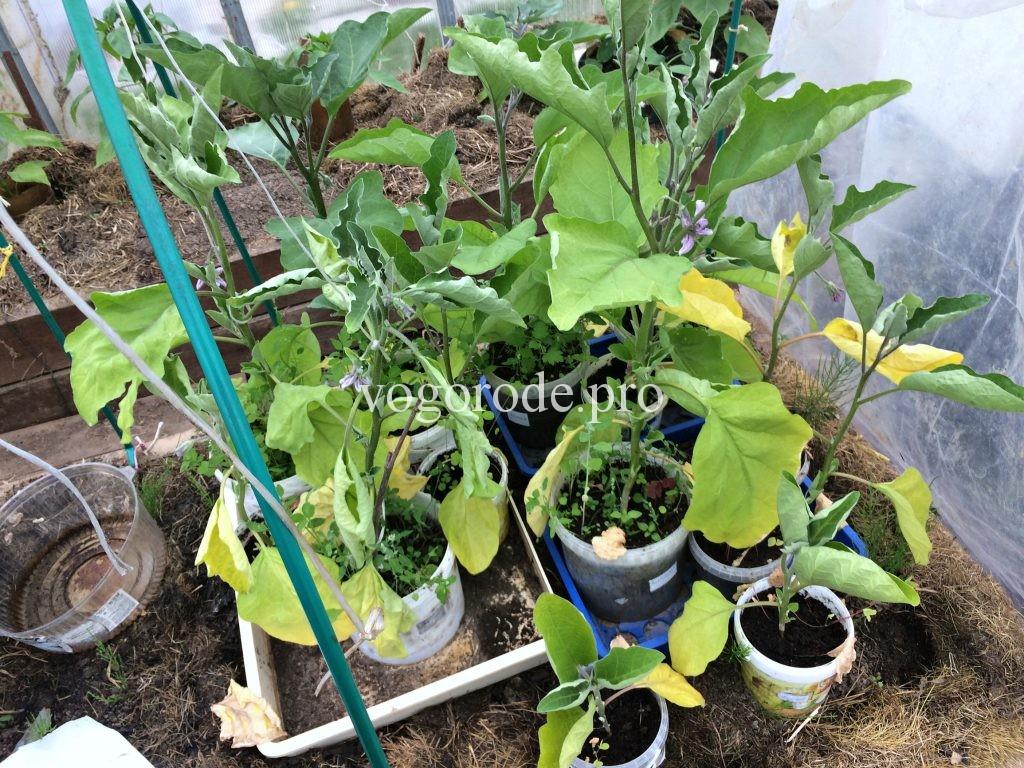 Как восстановить после заморозков рассаду помидоров, баклажанов, перцев