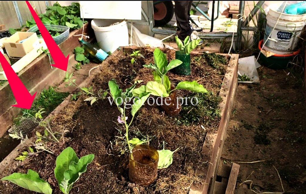 как восстановить рассаду помидоров после заморозков