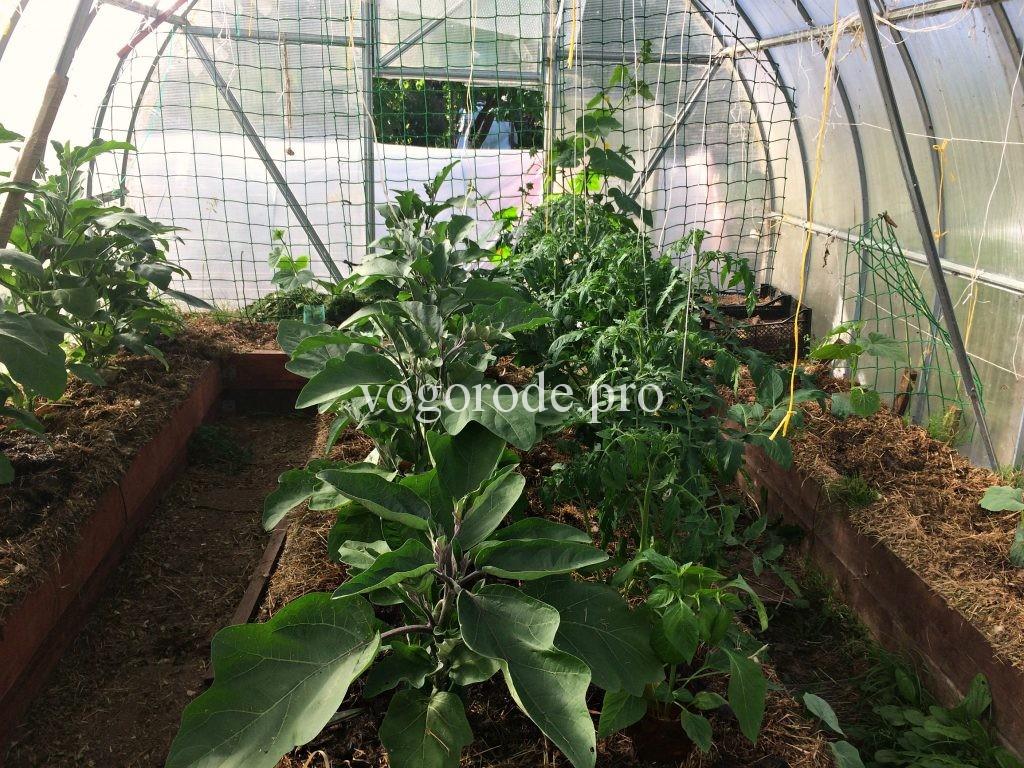 как реанимировать рассаду помидоров и баклажанов