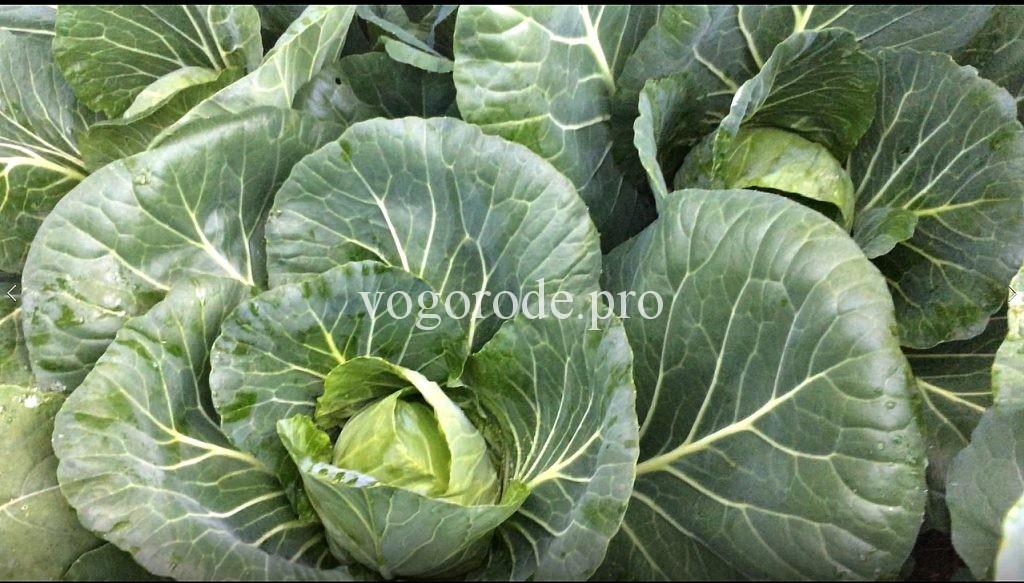 Выращивание ранней капусты Выращивание ранней капусты под укрывным материалом.