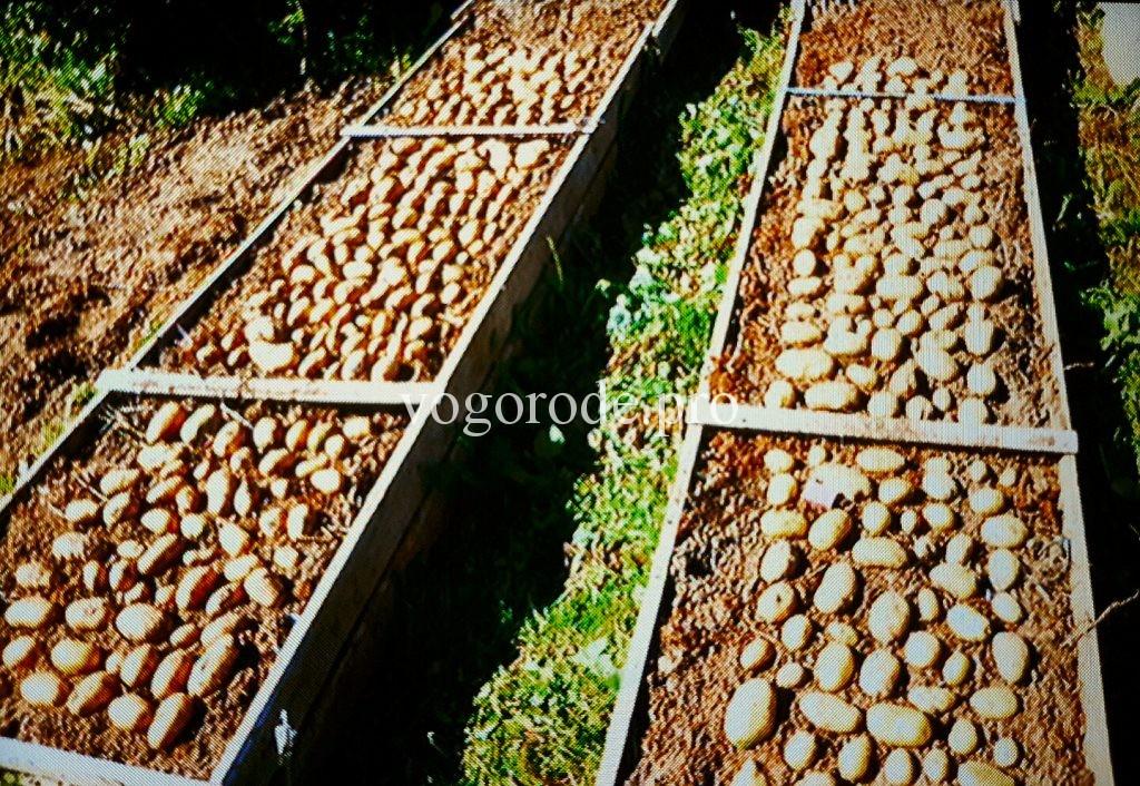 Выращивание картофеля метод Натальи Сморчковой.