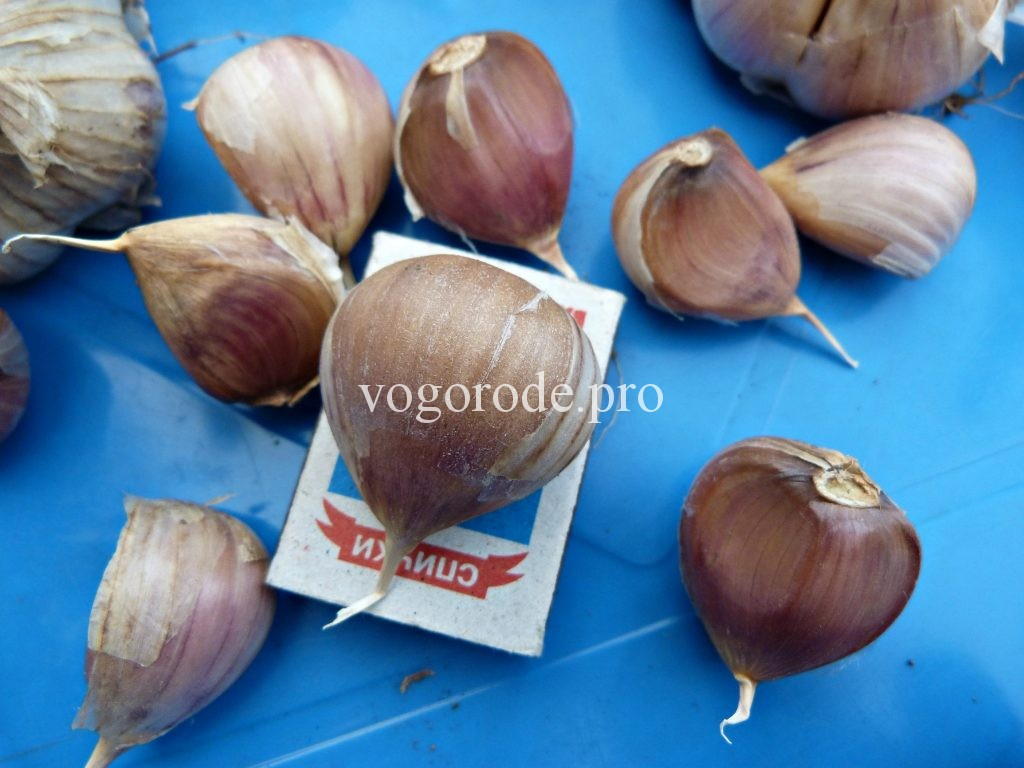 Купить семенной чеснок в Москве