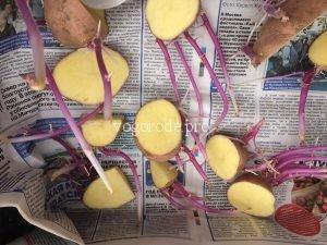 Выращивание картофеля из резанных клубней.