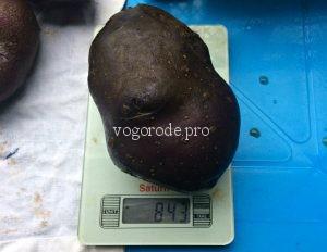 Выращивание фиолетового картофеля