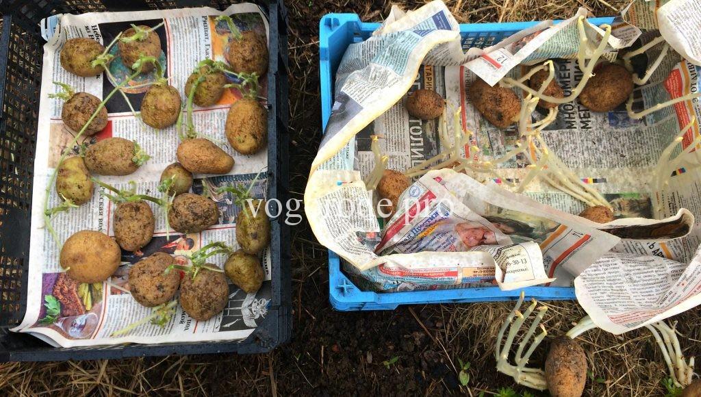 Как лучше проращивать картофель? Проращивание на свету и в темноте