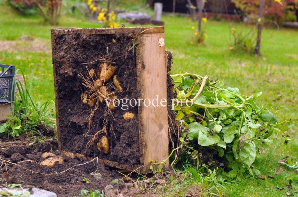 Выращивание картошки в ящике. Урожай - ведро с куста. Видео.