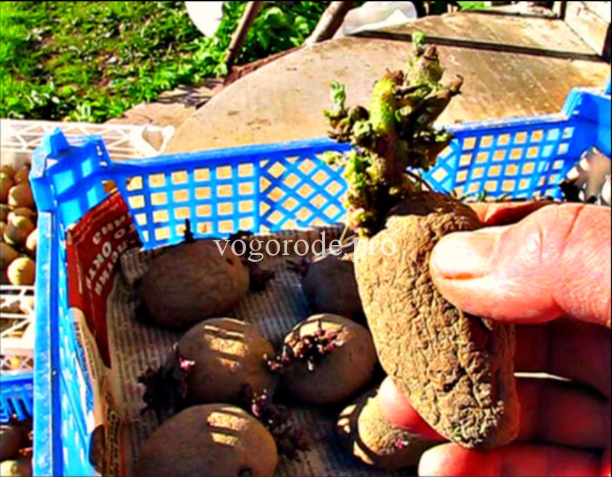 Как проращивать картофель на свету или в темноте?