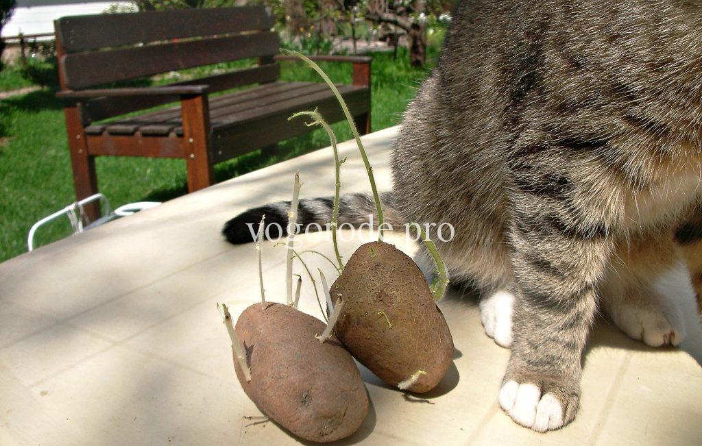 Нитевидные ростки картофеля