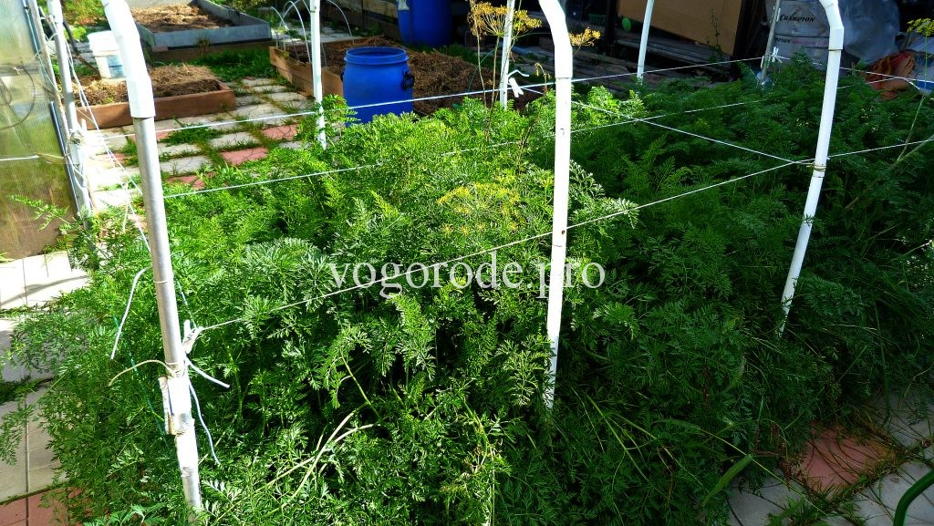 Морковь выращивание + уход