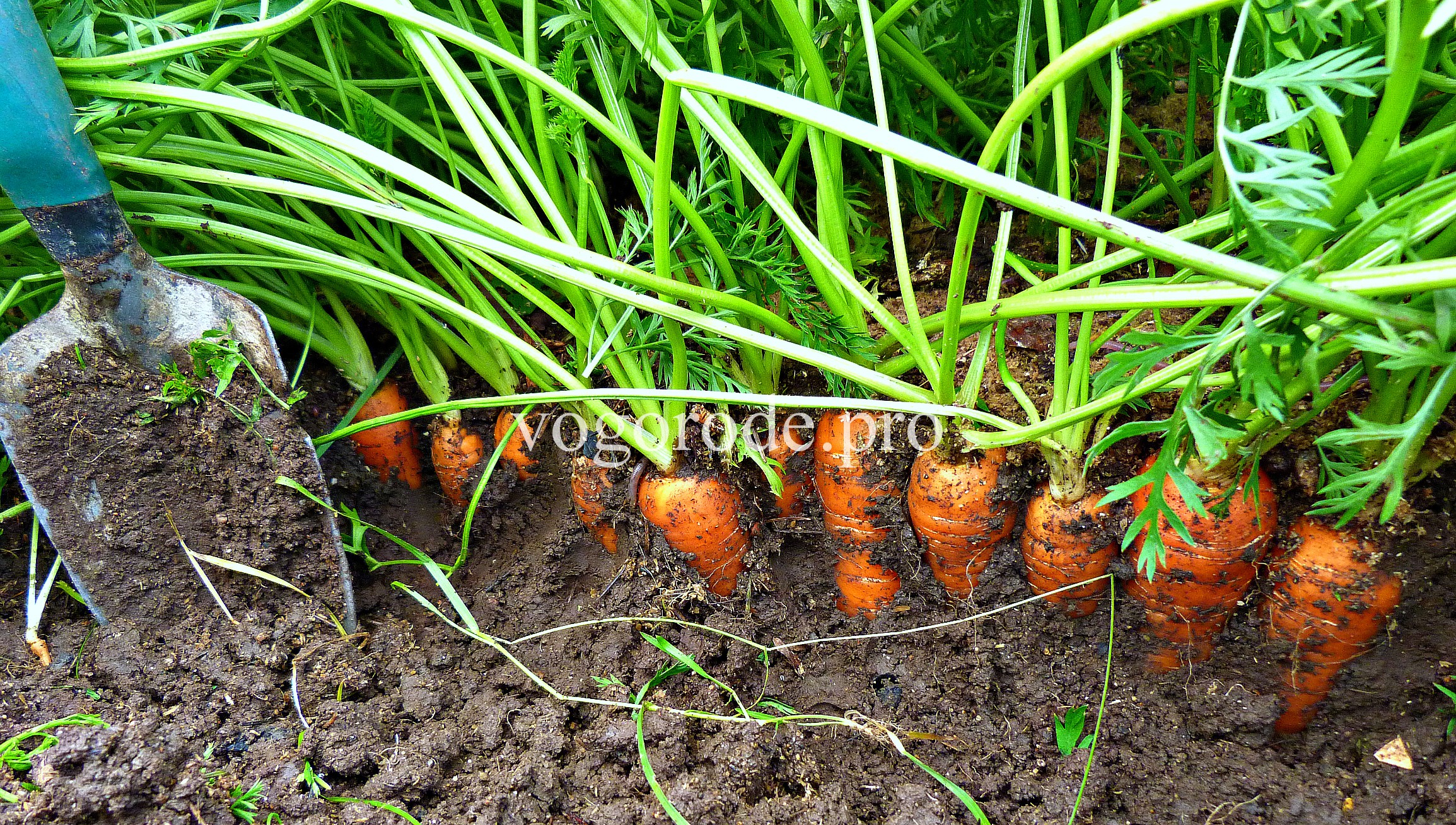 Промышленное выращивание моркови 34